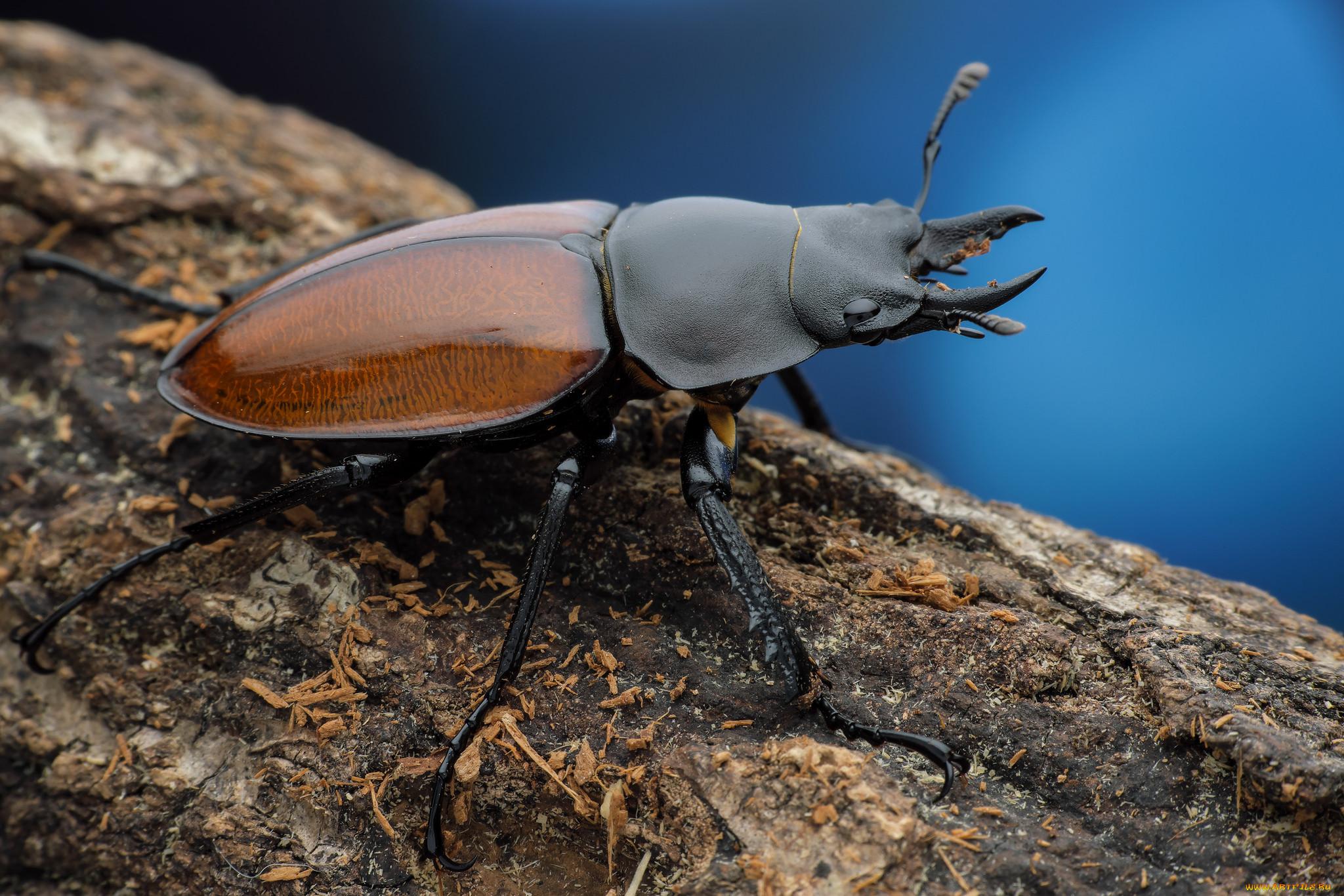 Древесные жуки картинки